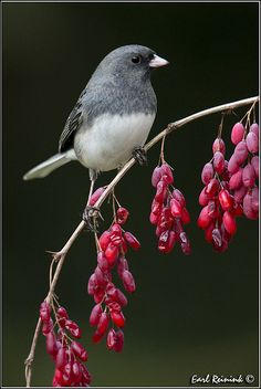 The Dark Eyed Juncos have arrived....another sign that winter is approaching!