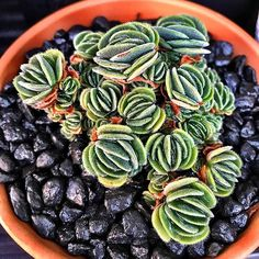 Crassula tomentosa #crassula #cactus #cactuslove #succulent #succulove #desert #plant #nature #leaveonlyleaves #leafandclay #jungalowstyle #succulents #flower #flowerlove #garden #plants #instagood #photoftheday #picoftheday #instalike #beautiful #green #cactusrepost #bestoftheday #cactusmovement #cactusclub #cacti #suckerforsucculents #love