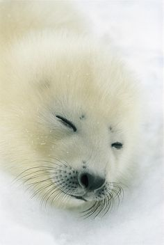~~A  Newborn Harp Seal Pup | Harp seals have pure black eyes and they prefer to swim in the ocean, spending relatively little time on land.These are extremely social animals | by Norbert Rosing~~