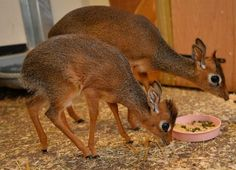 Strange Animals~Dik-Dik: Named for the alarm calls of the females,..adorably small breed of antelopes found in southern Africa..