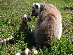 Mom and baby Ring Tailed Lemurs