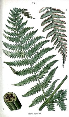 Botanical Drawings Fern Botanical – ferns.