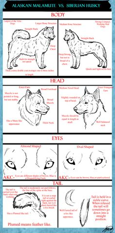 Alaskan Malamute VS. Siberian Husky Tutorital by VorpalBeast on DeviantArt