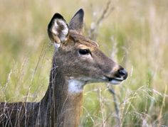 White-tailed deer and meningeal worm