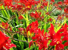 After a wet summer this crocosmia certainly brightened the day of sunshine I had at Clumber Park Nottinghamshire.