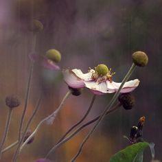 Foto van de bloem. Anemone.... Fine art print van de