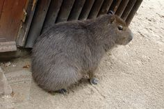 Free Pictures, Free Images, Capybara, Rodents, Guinea Pigs, Fur, Illustration, Animals, Animales