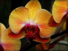 """Golden Butterfly Orchid"" by trixxie17 - Caedes Desktop Wallpaper"