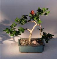 Plum - Medium Flowering Tree(Carissa Macrocarpa)