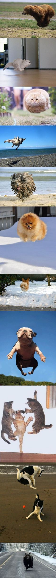 Oh God help us all...not only are they hovercats, and hoverdogs, but now, BEARS have mastered hovering. ;)