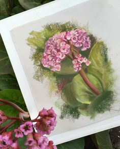 Бадан #пленэр#пастель#цветы#рисунок