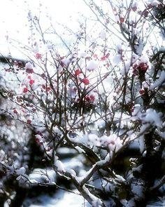 こんにちわ😊 『白梅』 * 雪写真。。終わり❄❄かな 明日はプチ遠征。。がっつり撮ってきまーす📷😆✨ * Location : Kyoto Japan * #そうだ京都行こう #lovers_nippon #loves_nippon #team_jp_西(京都) #ptk_japan #icu_japan #igersjp #photo_jpn #jp_gallery_member #東京カメラ部 #ig_japan #whim_life #bestjapanpics #photo_jpn  #wow_nihon #phos_japan #instagramjapan #loves_united_members #airy_pics #ray_moment #loves_united_earth #ig_photosentez #explorejapan #daily_photo_jpn #eye_for_earth #stalking_nature #dof_of_our_world