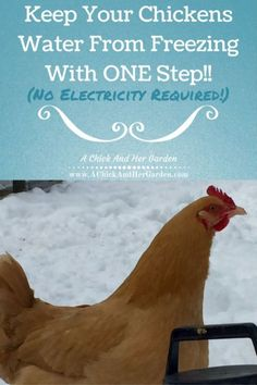 Only Tip You Need ~ Keep Your Chickens Water From Freezing Try this ONE step to keep your hens water from freezing this winter! (No electricity required!)Try this ONE step to keep your hens water from freezing this winter! (No electricity required! Backyard Poultry, Backyard Farming, Chickens Backyard, Keeping Chickens, Raising Chickens, Raising Farm Animals, Chickens In The Winter, Building A Chicken Coop, Pet Chickens