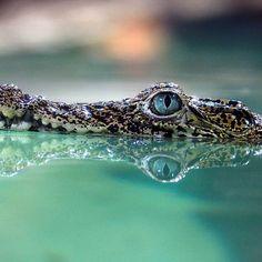 Programturizmus az Instagramon  Tudtad, hogy Magyarország legnépszerűbb programkereső oldala Instagramon is jelen van? Kövess minket ott is!   #szallas #fesztival #vasar #unnep #latnivalo #szabadido #kultura #csalad #gasztronomia #pihenes #mitcsinaljak #magyarorszag.  👉Mellesleg szupercuki kubai bébi krokodilok érkeztek Budapesten az állatkertb Instagram, Crocodile