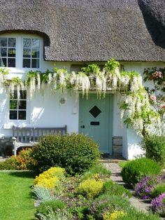 ivy on the wall. white climbing wisteria flowers on a cottage wall. glicine bianco rampicante sul muro di un casa di campagna.