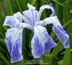 Iris (Iris laevigata 'Monstrosa') uploaded by zuzu