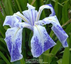 Iris (Iris laevigata 'Monstrosa') uploaded by zuzu