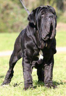 Mastiff Breeds Dog