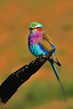 Wow, Mother Nature is a mad decorator. Look at the colors on this Lilac-breasted Roller. Kinds Of Birds, All Birds, Little Birds, Love Birds, Pretty Birds, Beautiful Birds, Animals Beautiful, Cute Animals, Beautiful Pictures