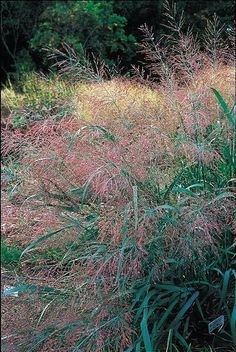 "Front beds Panicum virgatum 'Dallas Blues' PP 11,202 Item #: 3363 Zones: 4a to 9b Dormancy: Winter Height: 60"" tall Culture: Sun Origin: United States Pot Size: 2 qt. (1.9 L) ?"