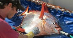 Warm-Blooded Fish, Cold-Blooded Mammal and World Record Eel