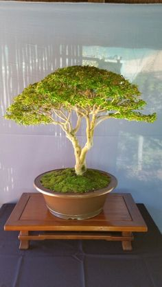 Bonsai Small leafed privet