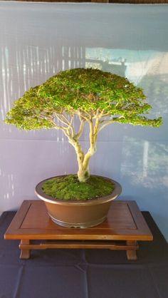 Bonsai Small leafed privet