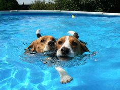 """Beagles Pairs Synchronized Swimming"" -- I'd rather watch THIS at the Olympics than silly humans"