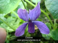 Sweet Violet Plants - Scented & unusual rare plants by Groves