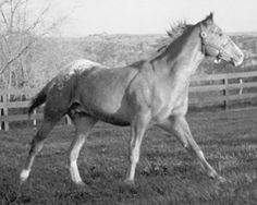 First Secretary, Secretariat's first (test) foal born. Several Appaloosa enthusiasts contacted Claiborne Farm to buy the mare and her unborn foal. John and Lynn Nankivil of Winona, Minnesota, prevailed with an undisclosed amount of money and purchased Leola and the chance that she carried a colored colt. Even before the foal´s birth, several breeders had purchased breeding rights to Secretariats first foal, without knowing if Leola would produce a colt