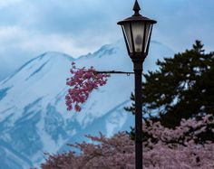 Street view of Hirosaki cherry blossoms and Mt. Iwaki located in Northern Japan.