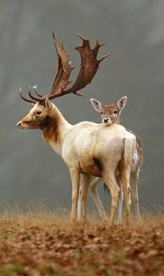 ☆ Fallow Deer, England -Detail- Photograph by Mark Bridger ☆