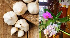 Sose hittük volna, de a fokhagyma csodát tesz az orchideával! Indoor Plants, Orchids, Garlic, Vegetables, Gardening, Inside Plants, Lawn And Garden, Vegetable Recipes, Veggies