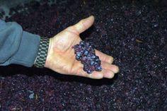 #Vendanges #vin #Alsace #DrinkAlsace Grappe encore entière au décuvage du Pinot Noir 2012 Clos Saint Landelin. Cette année nous avons laissé 60% de grappes entières (non éraflées). Le reste a aussi été introduit par gravité. Un pressurage fin et juste au pressoir vertical s'impose !  Domaine du Clos St Landelin, vins d'Alsace René Muré http://www.facebook.com/photo.php?fbid=480793095288423=a.121500527884350.11927.120478271319909=1