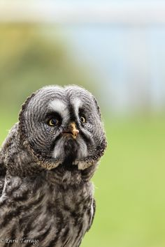 Owl by Enric Tarrago Beautiful Birds, Animals Beautiful, Cute Animals, Owl Bird, Pet Birds, Strix Nebulosa, Great Grey Owl, Mystery, Owl Pictures