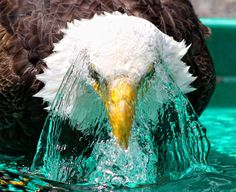 A bald eagle named Manwe plunges into a shallow bath to cool off at Pacific North West Raptors in British Columbia, Canada   Coffeeoath.com, Cushcoffee.com