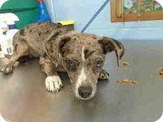 San Bernardino, CA - Chihuahua Mix. Meet URGENT on 8/11 SAN BERNARDINO, a dog for adoption. http://www.adoptapet.com/pet/16332166-san-bernardino-california-chihuahua-mix