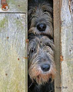 Peek-a-boo Irish Wolfhounds - cuteness to the power of 2 Scottish Deerhound, Scottish Terrier, Irish Wolfhounds, Big Dogs, I Love Dogs, Cute Dogs, Beautiful Dogs, Animals Beautiful, Cute Animals