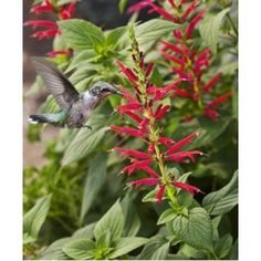Pineapple Sage- attracts hummingbirds