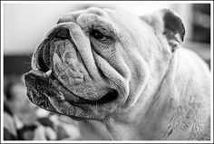 British Bulldog ~ this photo captures the sweet and loving characteristics that this, and all, bulldogs have ~ Beautiful!