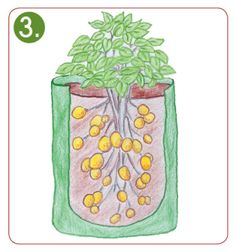 Planting instructions for potato plant bag – Growing Potatoes - Growing Plants at Home Potato Gardening, Planting Potatoes, Growing Sweet Potatoes, Growing Carrots, Growing Plants, Growing Vegetables, Potato Barrel, Grow Potatoes In Container, Sweet Potato Plant