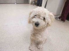 My name is 126973.  I am a male, white Poodle - Miniature.  The shelter staff think I am about 11 months old.  I have been at the shelter since Jul 18, 2014.  This information was refreshed 10 hours ago and may not represent all of the animals at the Riverside County Animal Control - Riverside Shelter.