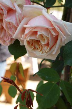 Tea Noisette Rose: Rosa 'Gloire de Dijon' AKA 'Old Glory' (France, c.1850)