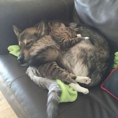 Husky Picked Out Her Own Kitten From Shelter - We Love Cats and Kittens