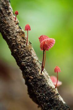 Marasmius sp. by Techuser, via Flickr
