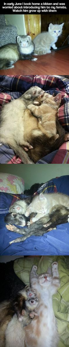 kitten grows up with ferrets *_*