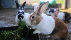 A slaughter house recently shut down its rabbit meat operation and thanks to some incredible rescuers, five breeding bunnies are now experiencing kindness for the very first time.