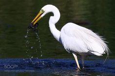 Great egret (Ardea alba) by knslobodchuk via http://ift.tt/2pKcZsa