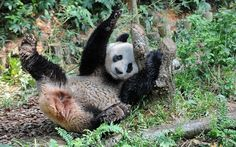 Jia Jia, a panda on loan from China, rubs its back in its enclosure at the River Safari in Singapore