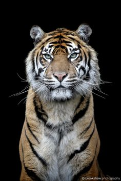 "brookshawphotography: ""Today is International Tiger Day (July 29th). It's so scary to think that stunning Sumatran Tigers like this are so critically endangered. Possibly less than 400 in the wild… :-( """